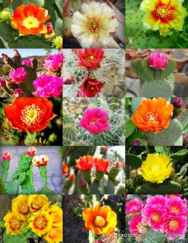 rare prickly pear cacti desert tuna seed 20 SEEDS FLOWERING OPUNTIA CACTUS MIX