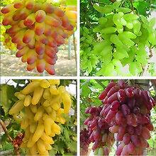 20 Seeds Grape Vine Seeds Combo 5 x ( Golden + Yellow + Green + Red) Juicy Fruit