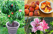 """SEEDS – Succulent Super Dwarf Peach """"Honey Babe"""" Trees for Small Spaces!"""