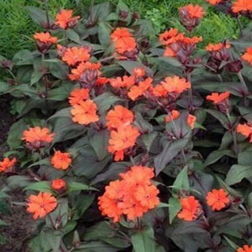 15 Lychnis /'Molten Lava/' seeds hardy perennial seeds