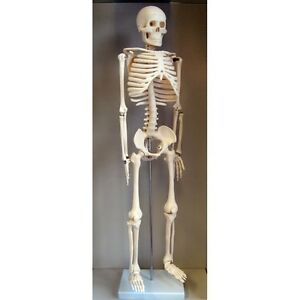 nc-10127 human skeleton model. half sized (31 inch) with stand and, Skeleton