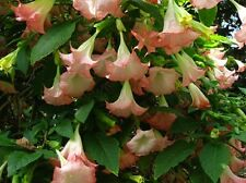 Brugmansia Angel Trumpet Tropical Plant Pink Fragrant Flowering Butterflies Bird