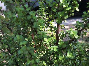 Lot-of-8-Elephant-Bush-Succulent-Red-Stem-Portulacaria-afar-Healthy-6-034-Cuttings