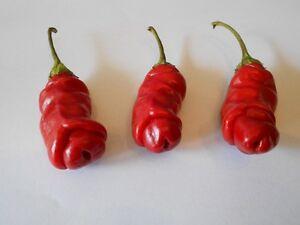 formschöner echter Penis-Chilli ❉ Brennt auf der Zunge ❉ Zimmerpflanze ❉ Samen ❉
