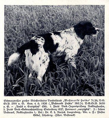 Gastfreundlich Westmarks Heido Münsterländer Jagdhunde & Züchter 1930-40 Reinweiß Und LichtdurchläSsig