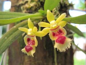 Rare-orchid-species-Blooming-size-Haraella-retrocalla