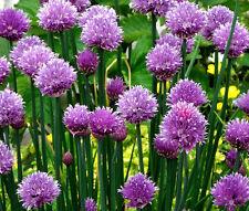 CHIVES COMMON ORGANIC Allium Schoenoprasum - 100 Bulk Seeds