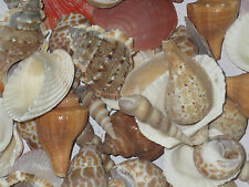 Aquarium & Home Decorate Seep Shank Conch Shells Reef sankh stone pebble 250grms