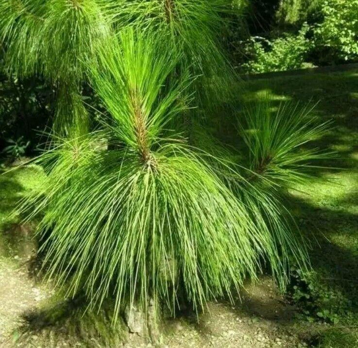 ☆Yunnan Pine tree seeds, 3g, 120 seeds (Pinus Yunnanensis) UK Stock