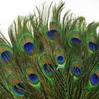50pcs lots Real Natural Peacock Tail Eyes Feathers 8-12 Inches/about 23-30cm JW4