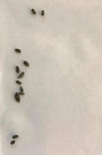 Hood/' Set 89 XXL grower 10 seeds 2019 Haworthia comptoniana x correcta /'Mt