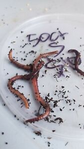 60-Live-Red-worms-Small-Live-fish-bait-best-trout-bait-Pan-fish-bait