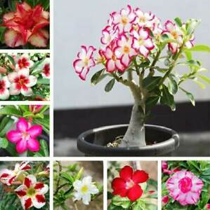 Mixed Color Desert Rose Seeds to Grow   10 Pack   Adenium Obesum,10 Seeds to Gro