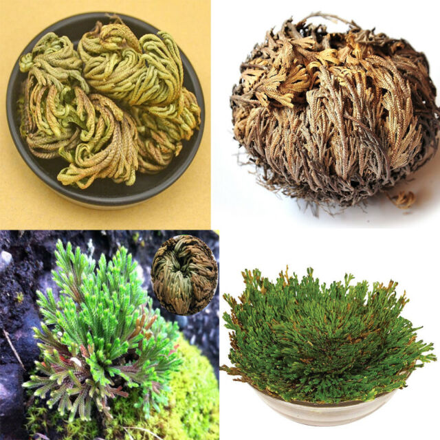 Rose of Jericho Dinosaur Plant Air Fern Spike Moss Live Resurrection Pflanze