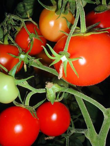 kältetolerant frisch * 10 Korn Siberian Early Tomate