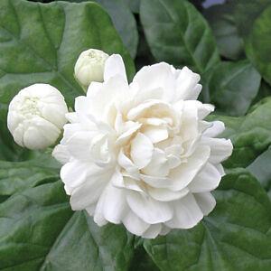 RARE PLANT GRAND DUKE Jasmine ~ Well Rooted