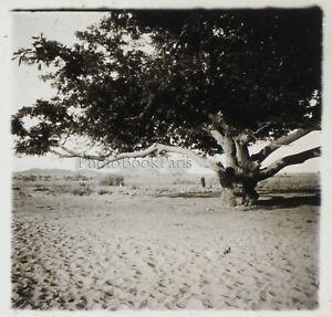 Africa-Albero-Foto-NF11-Placca-Da-Lente-Stereo-Vintage-Ca-1910