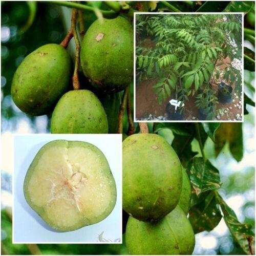 "Spondias dulcis Tree Plant Ambarella June plum Fruit Tall 18/"" From Thailand"