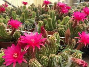 1 cuttings peanut cactus echinocereus pups pink flowers echinopsis image is loading 1 cuttings peanut cactus echinocereus pups pink flowers mightylinksfo