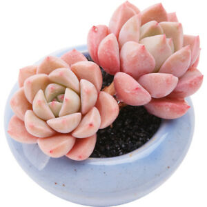 Image Is Loading Succulent Live Plant Echeveria Pretty In Pink 3cm
