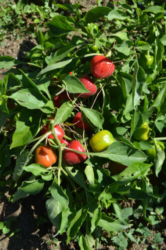 "sweet pepper seeds min 20 Samen Paprika /""Mini Bell/"" Capsicum annuum"