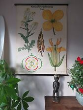 VINTAGE PULL DOWN BOTANICAL SCHOOL WALL CHART OF RAPESEED FLOWER PLANT