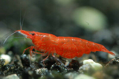 5X CHERRY SHRIMP - STRONG COLORED - TROPICAL FISH