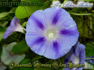 Morning Glory Ipomoea Blue Star 10 seeds