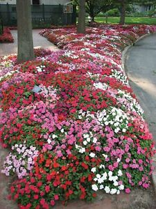 Impatiens-Colour-Parade-Mix-F2-Seed-Annual-Indoor-Outdoor-No-Frost
