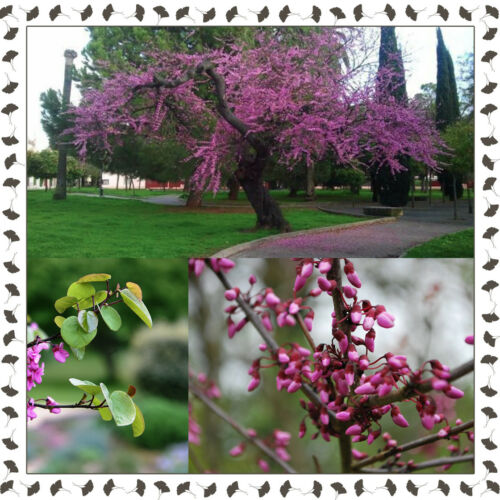 - YourEuroSeedShop Cercis siliquastrum Judas tree 10 viable fresh seeds