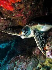 SEA TURTLE WEDGED UNDERWATER TROPICAL MARINE PHOTO ART PRINT POSTER BMP2139A