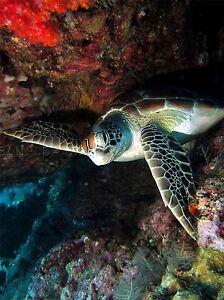 SEA TURTLE WEDGED UNDERWATER TROPICAL MARINE PHOTO ART PRINT POSTER BMP2139A