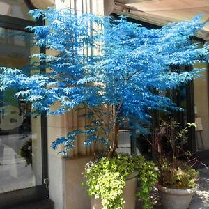 20pcs Japanese Maple Tree Bonsai Seeds Acer Palmatum Atropurpureum