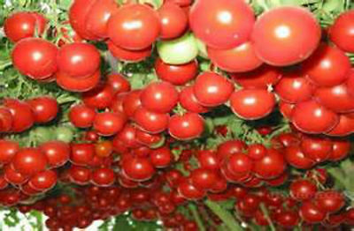 ITALIAN TREE TOMATO SEEDS! PICK TOMATOES FROM YOUR OWN TREE! EASY TO GROW! RARE!