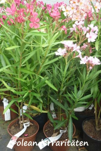 Oleander pianta villa romaine 3l Pentola molto duro gelo Rosa 30-40cm