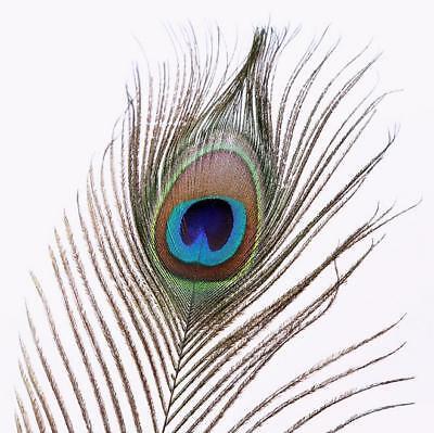 fabricación de joyas Sola pluma de pavo real la artesanía 20cms-recortes