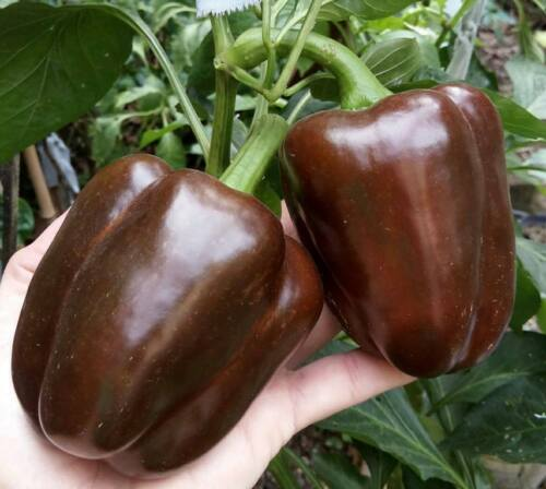 15 Chocolate Sweet Pepper Seeds