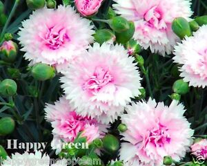 SONATA-DOUBLE-MIX-260-SEEDS-Dianthus-plumarius-PERENNIAL-FLOWER