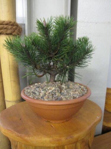 Pinus mugo lo Gnomo Nano Berg Pino lo gnomo 15-20