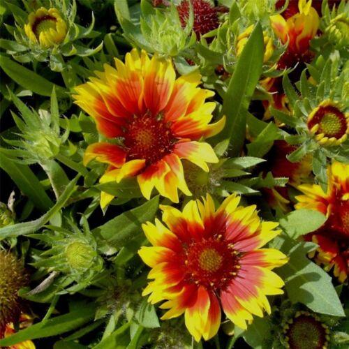 Gaillardia aristata großblumig KOBOLD Schmetterlingsbesuch Kokardenblume