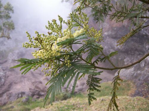 Acacia mearnsii 30 Black Wattle Tree Seeds