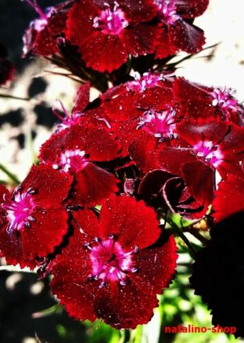 graines MAGIE NOIRE élégant Bordeaux Bartnelken 50 Sweet William Seeds