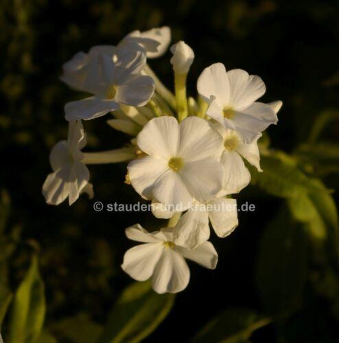 "Weisser GIARDINO-Phlox Phlox paniculata /""Fujiyama/"" pianta nel 9cm-Pentola"