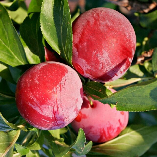 Prunier 'Mirabelle Ruby' - Prunus domestica rouge colonnaire