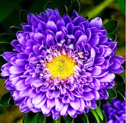 Blue China Aster Seed 50 Seeds Callistephus Chinensis Asteraceae Flower Hot A059