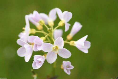 Cuckooflower or Lady/'s Smock Cardamine Pratensis 60 Seeds Damp-Loving Flower