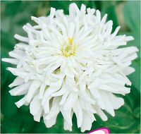 Zinnia Seed 50 Seeds White Zinnia Elegans Youth-and-old-age Flower Seed Hot A147