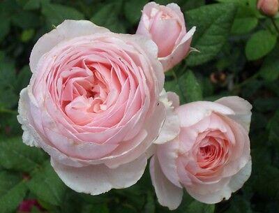 roses collection on ebay. Black Bedroom Furniture Sets. Home Design Ideas