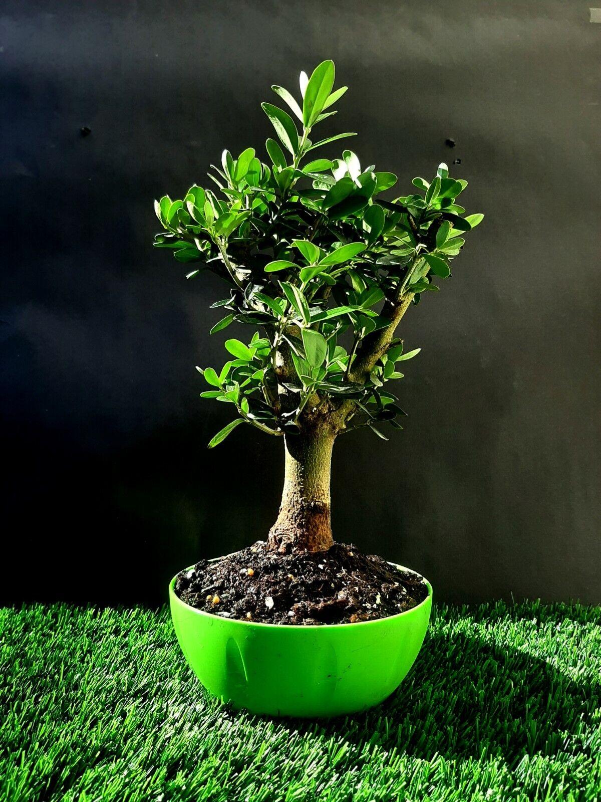 Olive tree Bonsai - Amazing tree