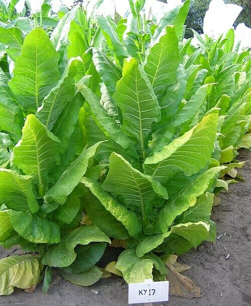 grow your own So Easy plus FREE SHIPPING Tobacco 10,000 Seeds